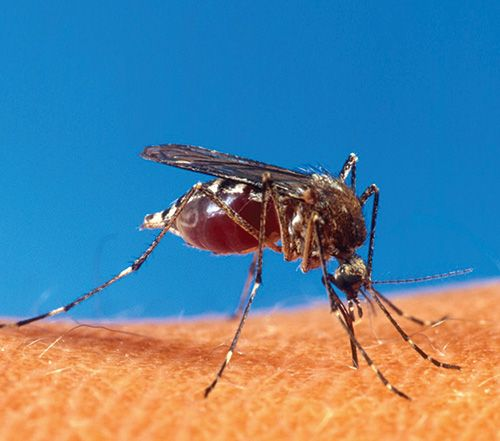 mosquito aedes aegypt